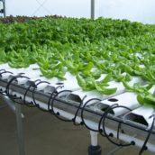 Maximizing yields per area in hydroponics