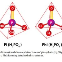 The use of phosphites in plant culture