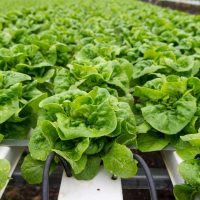 Why you should optimize your nutrient solution for your particular setup